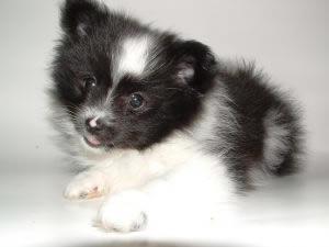 pomeranian-puppy2
